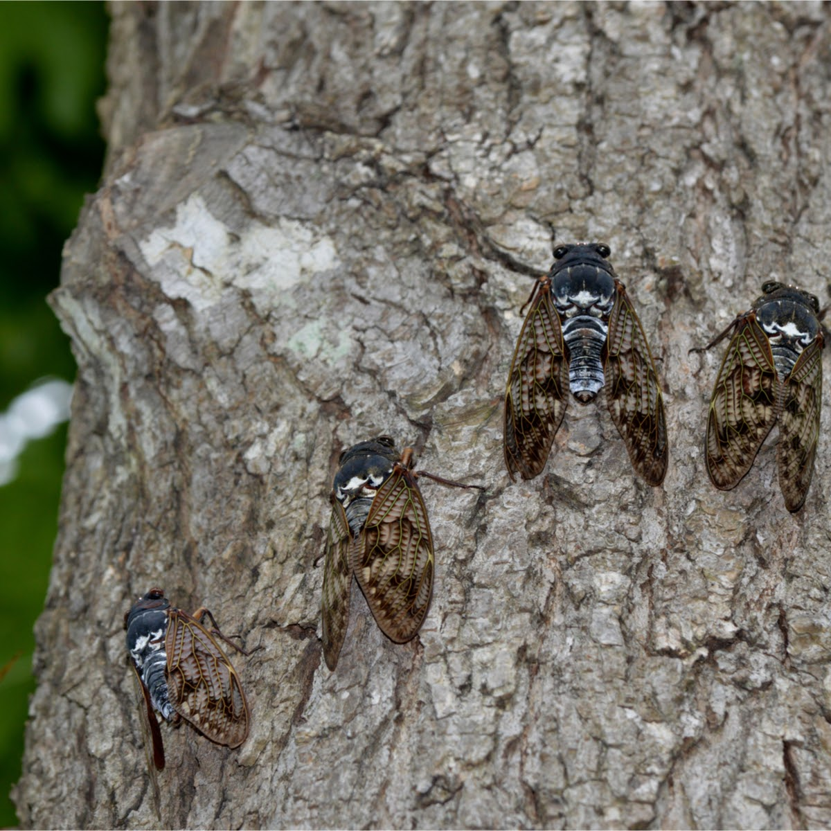 cicadas blog image